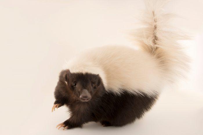 Photo: American hog-nosed skunk (Conepatus leuconotus) at the Arizona-Sonora Desert Museum.