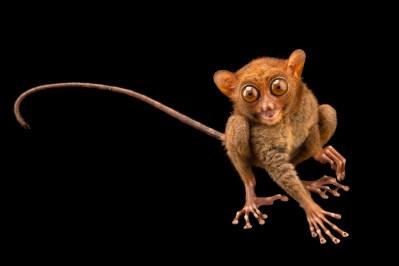 Photo: Philippine tarsier (Tarsius syrichta syrichta) at Avilon Zoo. This animal has the second largest eyes in the world compared to brain size.