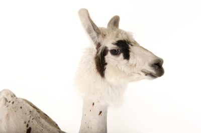 Photo: A llama (Lama glama) after a recent summer haircut at the Lincoln Children's Zoo.