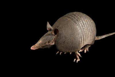 Portrait of a nine-banded armadillo, Dasypus novemcintus, at Tulsa Zoo.
