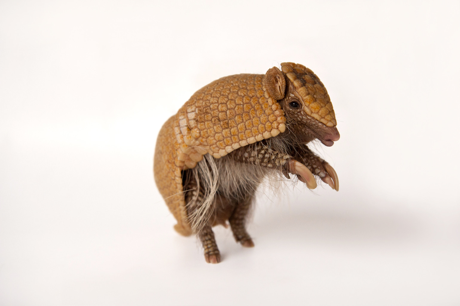 A near threatened southern three-banded armadillo (Tolypeutes matacus).
