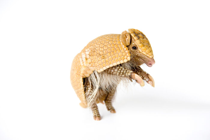 A southern three-banded armadillo (Tolypeutes matacus) at the Lincoln Children's Zoo.