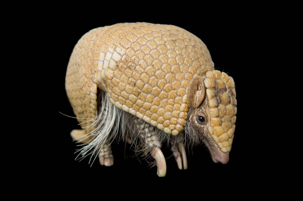 A southern three-banded armadillo (Tolypeutes matacus) at the Lincoln Children's Zoo, Lincoln, Nebraska. (IUCN: Near Threatened)