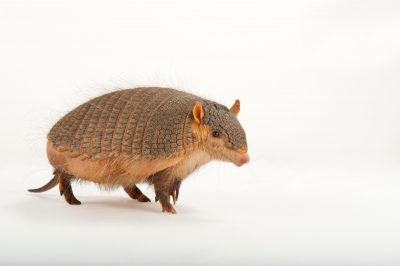 A screaming hairy armadillo (Chaetophractus vellerosus) at the Omaha Zoo.