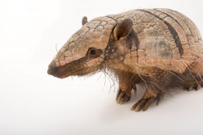 Picture of a six-banded armadillo (Euphractus sexcinctus) at the Cincinnati Zoo.