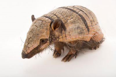 Picture of Euphractus sexcinctus, a six-banded armadillo at the Cincinnati Zoo.