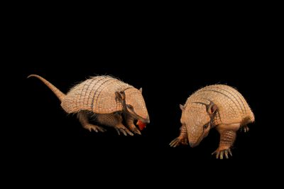 Picture of a mated pair of six-banded armadillos (Euphractus sexcinctus) named Dilla (bigger) and Marty at the National Mississippi River Museum and Aquarium in Dubuque, Iowa.