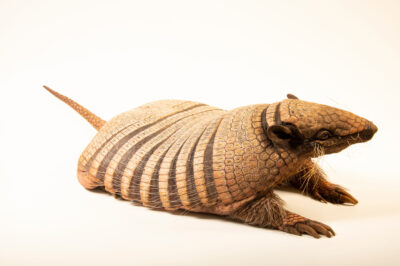Photo: A six-banded armadillo (Euphractus sexcinctus setosus) at BioParque do Rio.