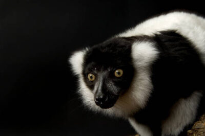 A black and white ruffed lemur (Varecia variegata) at the Cheyenne Mountain Zoo, Colorado Springs, Colorado. (IUCN: Critically Endangered)
