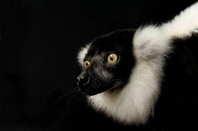 A black and white ruffed lemur (Varecia variegata) at the Cheyenne Mountain Zoo, Colorado Springs, Colorado. (IUCN: Critically Endangered)