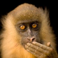 Photo: A captive, five-month-old mandrill (Mandrillus sphinx) in Malabo, Equatorial Guinea.