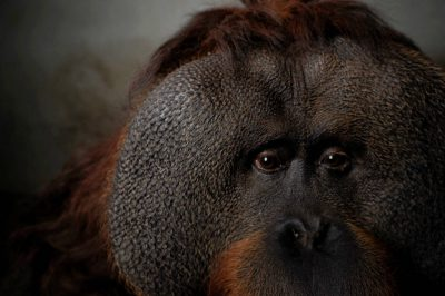 A hybrid orangutan (cross between Bornean and Sumatran) (Pongo pygmaeus x Pongo abelii) named Jambi, at the Chapultepec Zoo, Mexico City, Mexico.