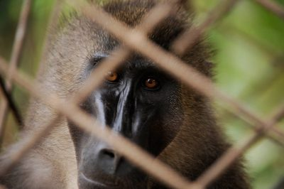 A captive orphaned drill (Mandrillus leucophaeus) in Malabo, Equatorial Guinea, Africa. The male has been in this cage made of construction rebar for six years. Species is endangered (IUCN) and federally endangered.