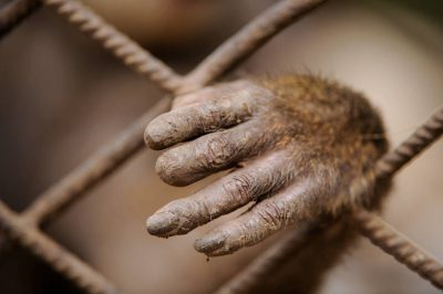The hand of a captive orphaned drill (Mandrillus leucophaeus) in Malabo, Equatorial Guinea, Africa. The male has been in this cage made of construction rebar for six years. Species is endangered (IUCN) and federally endangered.
