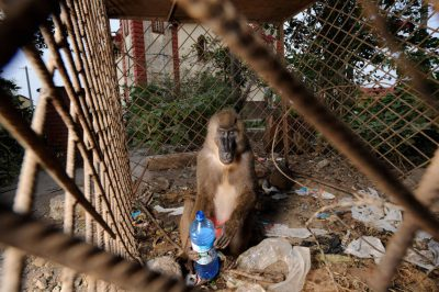 A captive orphaned drill (Mandrillus leucophaeus) that lives in a cage behind a restaurant in the Ela Nguema section of Malabo, Equatorial Guinea, Africa. The male has been in this cage made of construction rebar for six years. Species is endangered (IUCN) and federally endangered