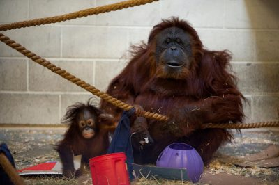 Photo: An orangutan and her adopted, seven-month-old baby.