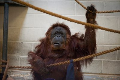 Photo: A female orangutan at the Houston Zoo.