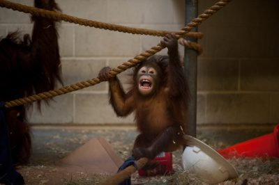 Photo: A 7-month old baby orangutan.