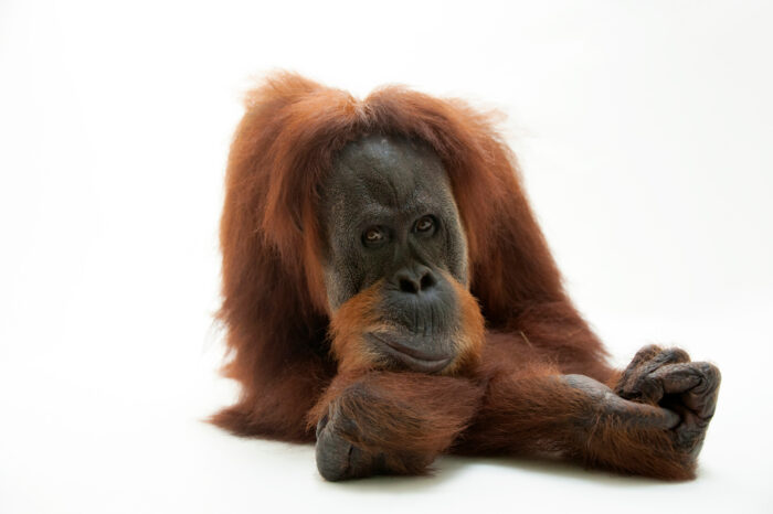 A critically endangered sumatran orangutan, Pongo abelii, at the Gladys Porter Zoo in Brownsville, TX.