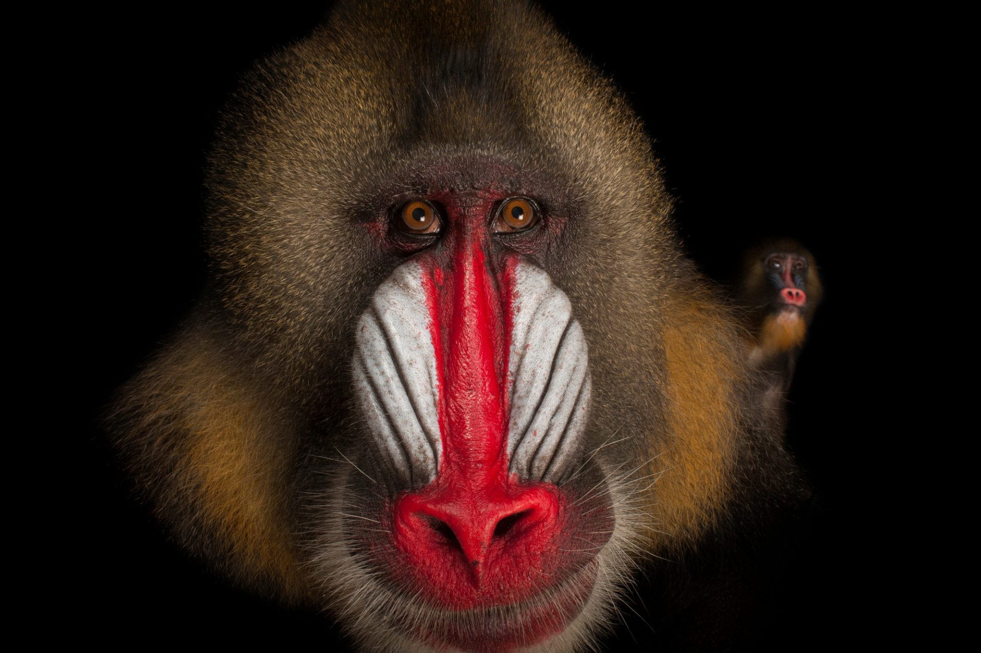 Vulnerable (IUCN) and federally endangered mandrills (Mandrillus sphinx) at the Gladys Porter Zoo in Brownsville, TX.