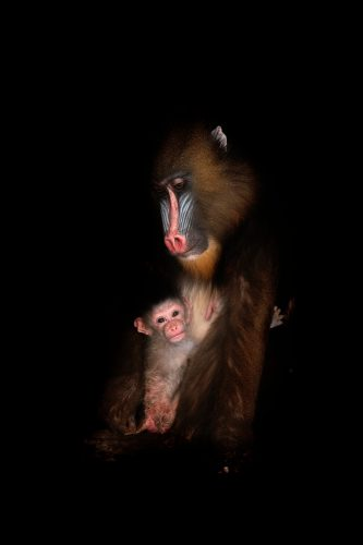 A vulnerable (IUCN) and federally endangered Mandrill (Mandrillus sphinx) and her infant at the Gladys Porter Zoo.
