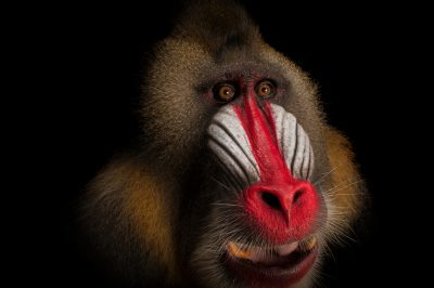 A vulnerable (IUCN) and federally endangered Mandrill (Mandrillus sphinx) at the Gladys Porter Zoo.