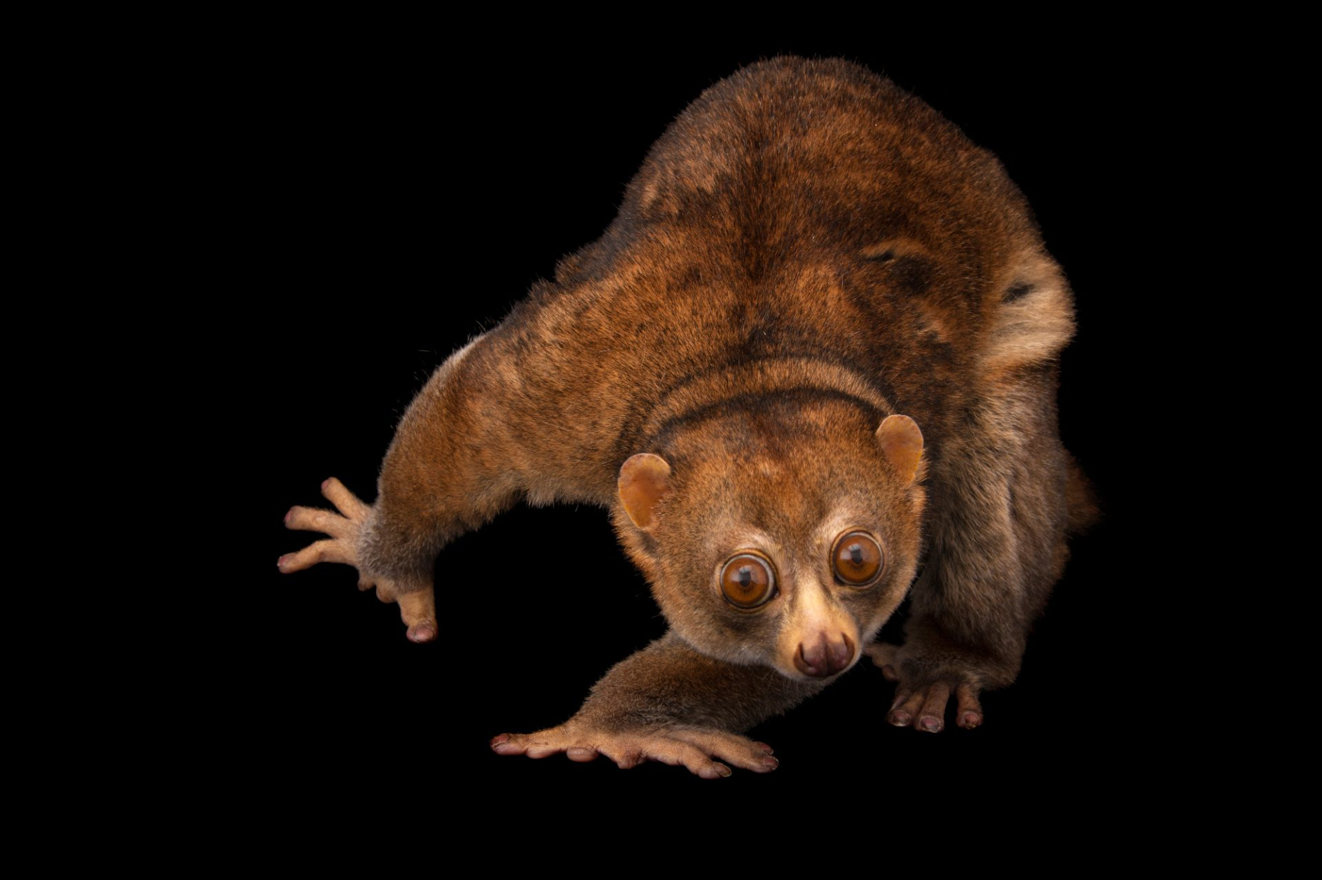Picture of a Potto (Perodicticus potto) at the Cleveland Metroparks Zoo.