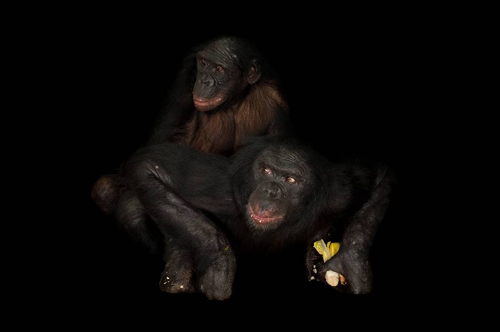 An endangered (IUCN) and federally endangered pair of bonobos (Pan paniscus) at the Columbus Zoo.