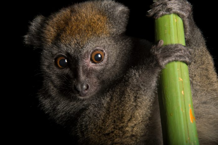 Picture of a vulnerable gray bamboo lemur (Hapalemur griseus griseus) named Li'l Bit at the Cincinnati Zoo.