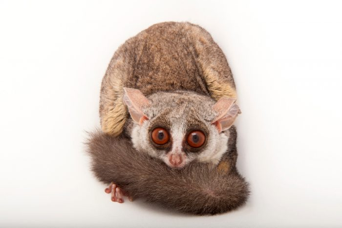 A Mohol bushbaby (Galago moholi) at the Cleveland Metroparks Zoo.