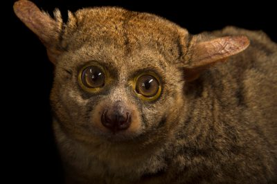 Picture of a thick-tailed greater galago (Otolemur crassicaudatus) at the Tulsa Zoo.