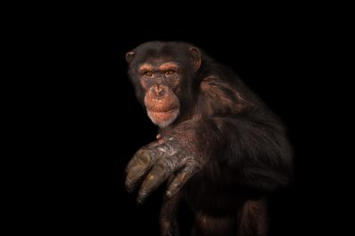 An endangered (IUCN) and federally endangered chimpanzee (Pan troglodytes) at Rolling Hills Wildlife Adventure.