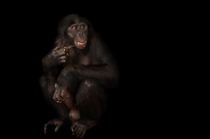 An endangered (IUCN) and federally endangered bonobo (Pan paniscus) at the Columbus Zoo.