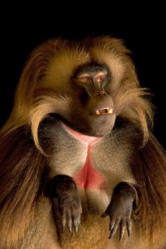 Photo: A Gelada baboons (Theropithecus gelada) at Parco Natura Viva in Bussolengo, Italy.
