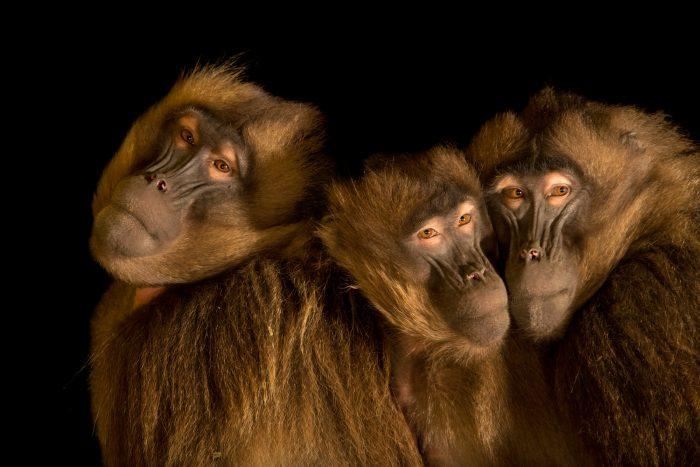 Photo: Gelada baboons (Theropithecus gelada) at Parco Natura Viva in Bussolengo, Italy.