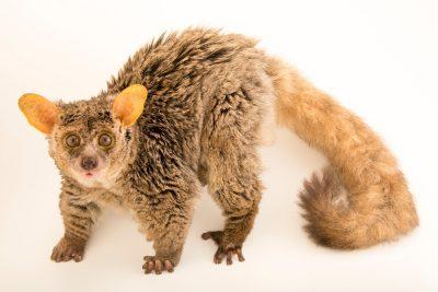 Photo: A long-tailed bushbaby (Otolemur crassicaudatus) at Duke Lemur Center in Durham, North Carolina.