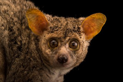 Photo: A long-tailed bushbaby (Otolemur crassicaudatus) at Duke Lemur Center in Durham, North Carolina.