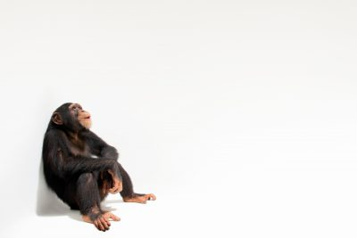 Photo: An endangered chimpanzee named Jengo (Pan troglodytes) at the Singapore Zoo.