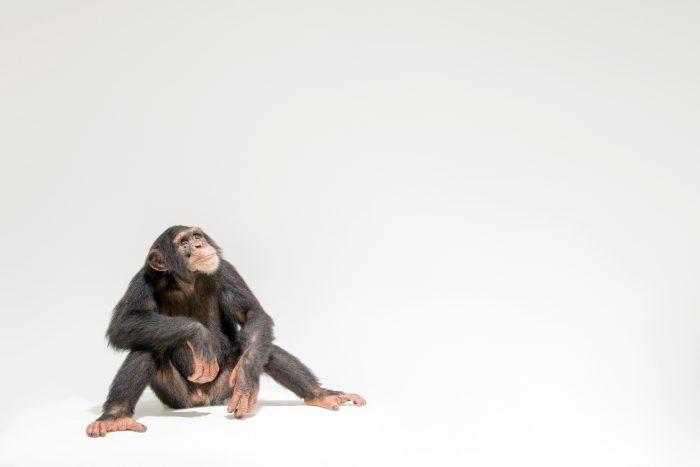 Photo: An endangered chimpanzee named Jengo (Pan troglodytes) at the Singapore Zoo.
