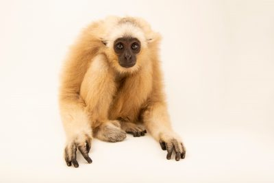 Photo: An endangered two-year old pileated Gibbon (Hylobates pileatus) at the Angkor Centre for Conservation of Biodiversity (ACCB) in Siem Reap, Cambodia.