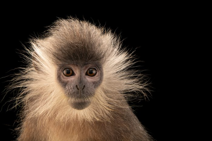 Photo: An endangered Annamese Langur (Trachypithecus margarita) at the Angkor Centre for Conservation of Biodiversity (ACCB) in Siem Reap, Cambodia.
