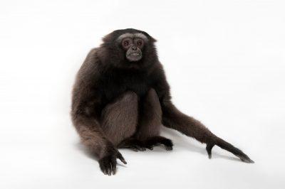 Photo: An endangered gray gibbon (Hylobates muelleri muelleri) at the Miller Park Zoo.
