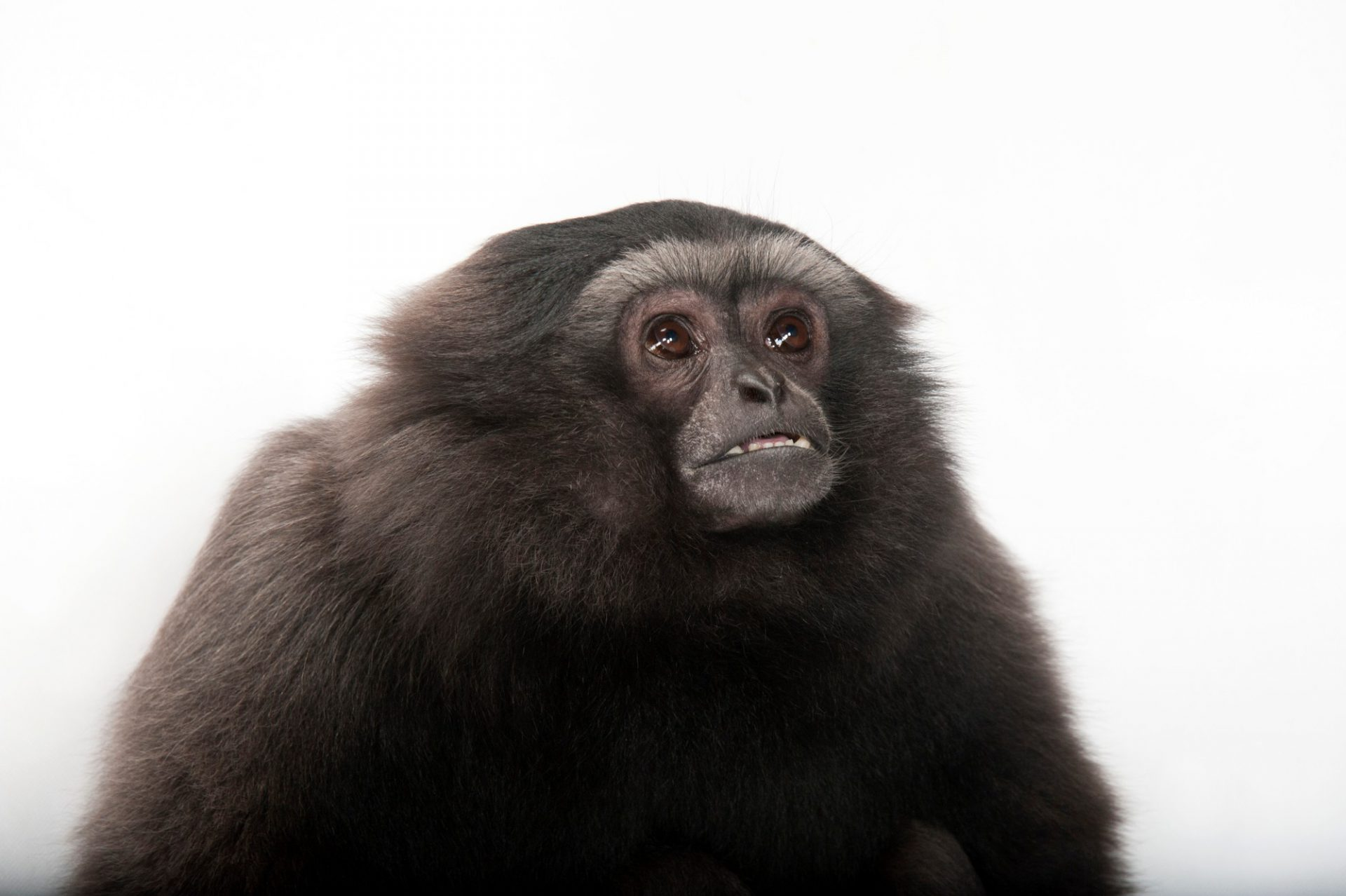 Photo: An endangered gray gibbon (Hylobates muelleri muelleri) at the Miller Park Zoo.