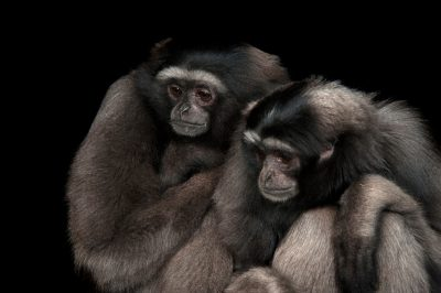 Photo: A a pair of endangered gray gibbons (Hylobates muelleri muelleri) at the Miller Park Zoo.