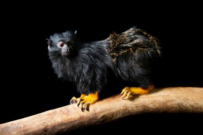 Photo: A golden-handed tamarin (Saguinus midas) at the Miller Park Zoo