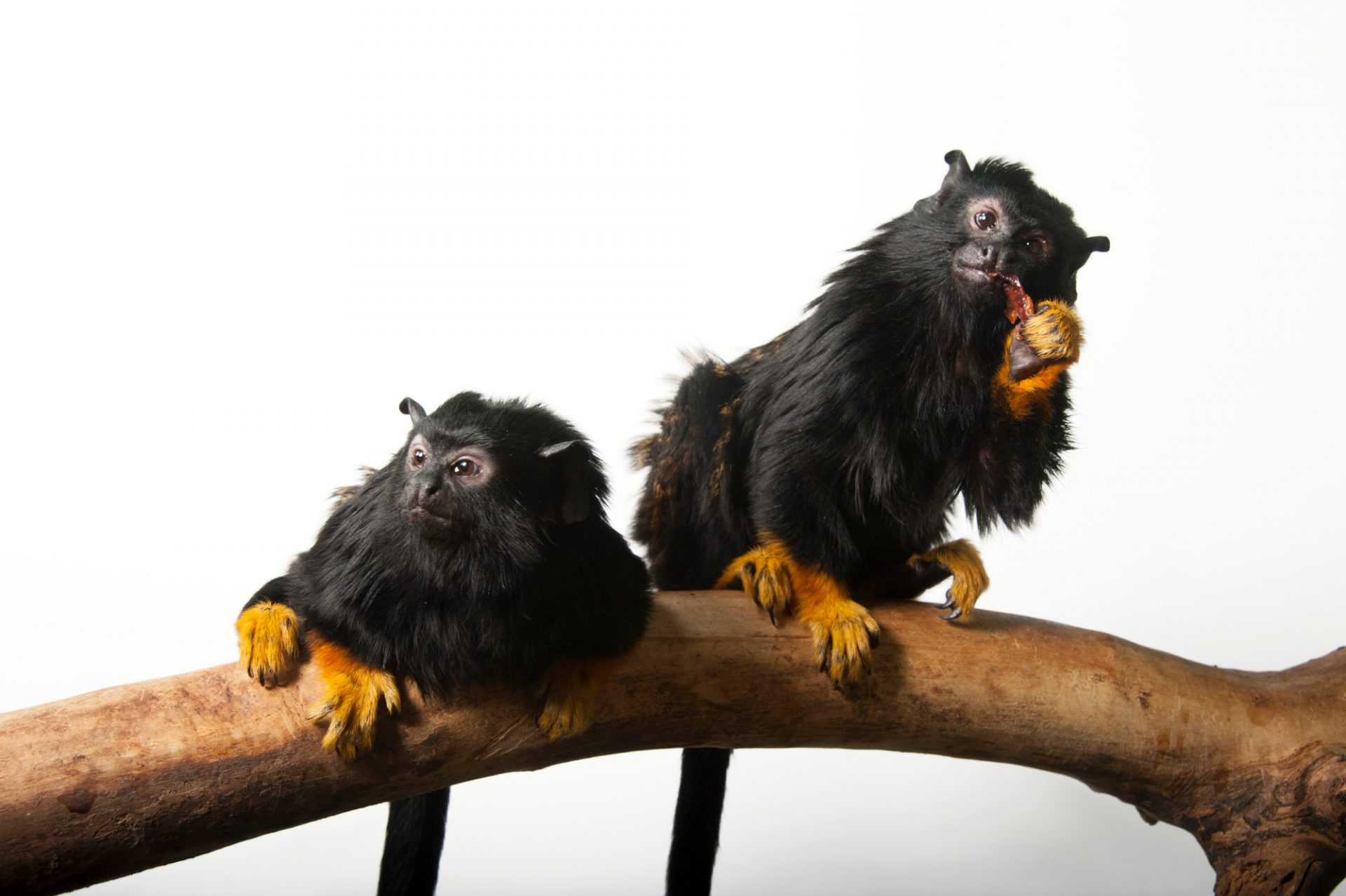 Photo: A pair of golden-handed tamarins (Saguinus midas) at the Miller Park Zoo