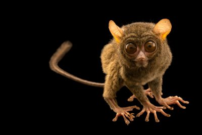 Photo: Spectral tarsier, Tarsius spectrum, at Taman Safari in Cisarua District, Bogor, West Java, Indonesia.