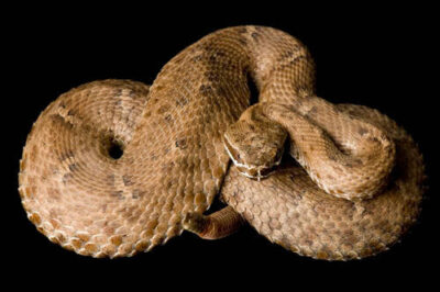 An Arizona ridge-nosed rattlesnake (Crotalus willardi willardi) at the St. Louis Zoo.