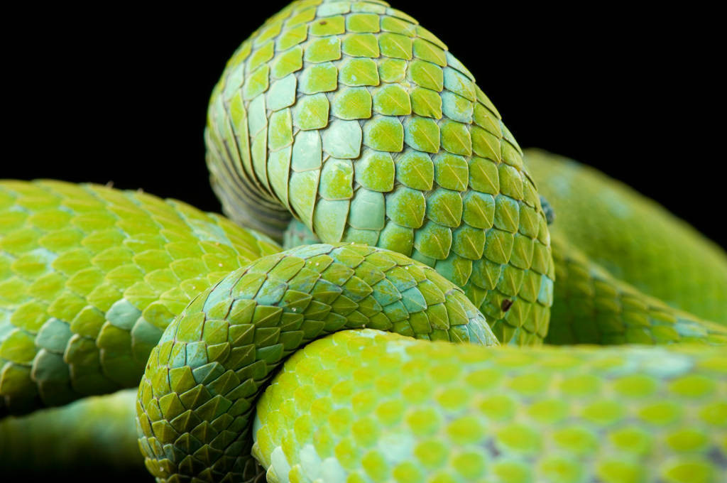 A Rowley's palm pit viper (Bothriechis rowleyi) at the St. Louis Zoo.