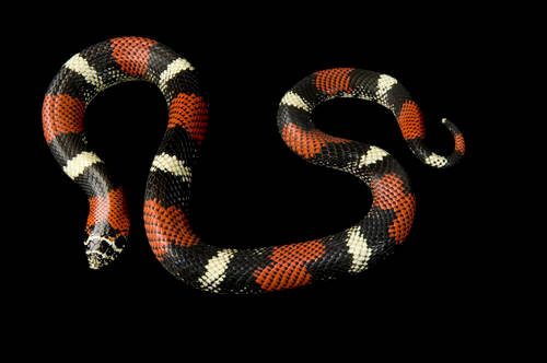 A tri-color hognose snake (Lystrophis semicinctus) at the St. Louis Zoo.